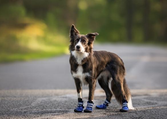 Border collie met schoenen