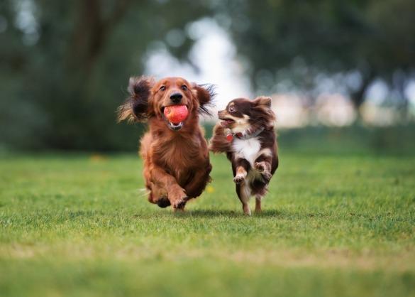 Teckel en chihuahua spelen samen in het gras