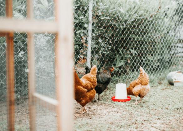 5 voordelen van een kip in je tuin
