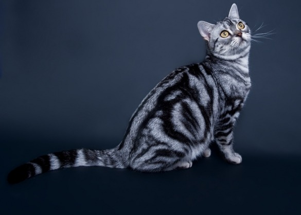 American Shorthair zit neer en kijkt naar boven.