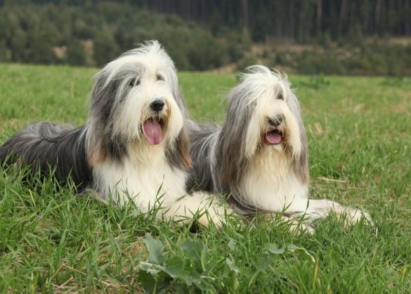 Twee bearded collies liggen in het gras.