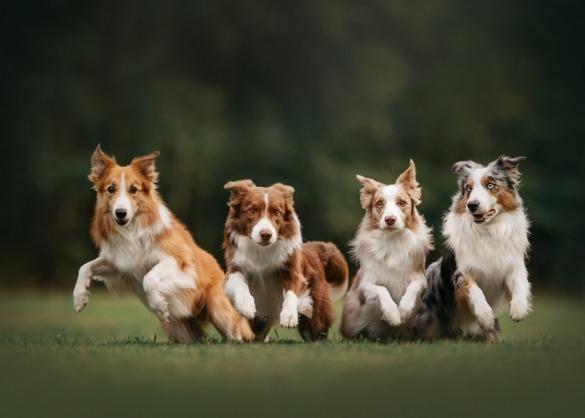 Vier border collies op een rij beginnen met rennen
