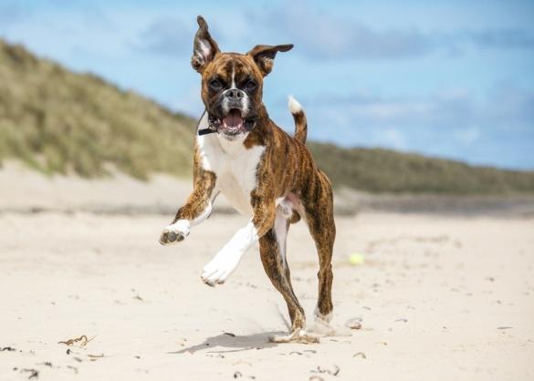 Boxer springend op het strand