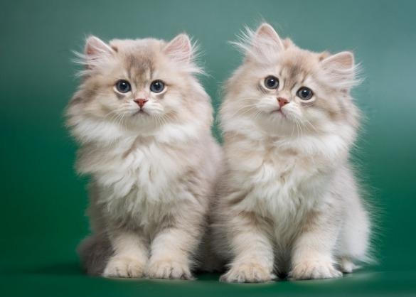 Twee Brits langhaar chinchilla kittens