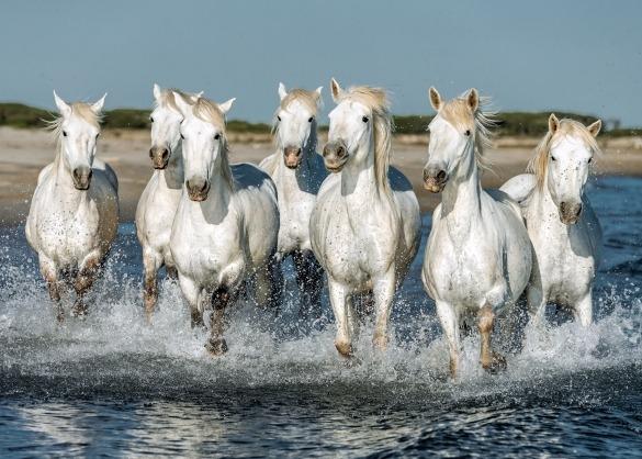 Kudde Camarguepaarden in de zee
