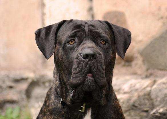 Zwarte cane corso