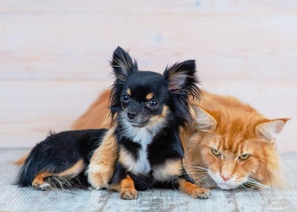 Chihuahua en Maine Coon