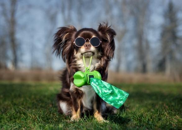 Chihuahua met zonnebril houdt rolletje poepzakjes in de bek