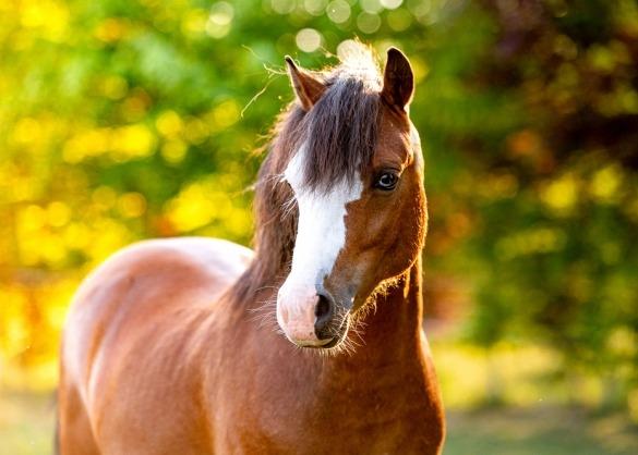 close-up Welsh pony