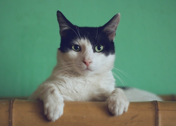 Wit en zwartgekleurde kat