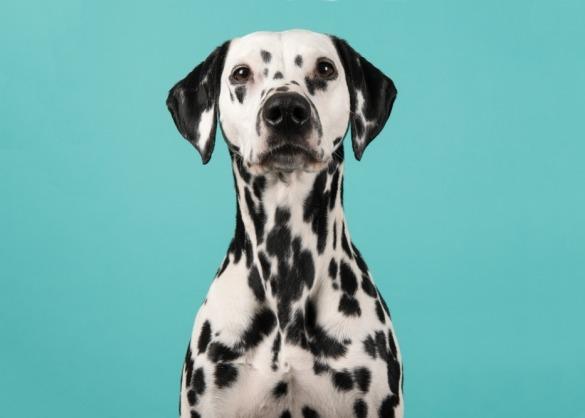 dalmatiër met blauwe achtergrond