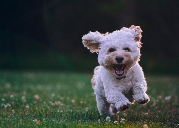 Witte hond in het gras