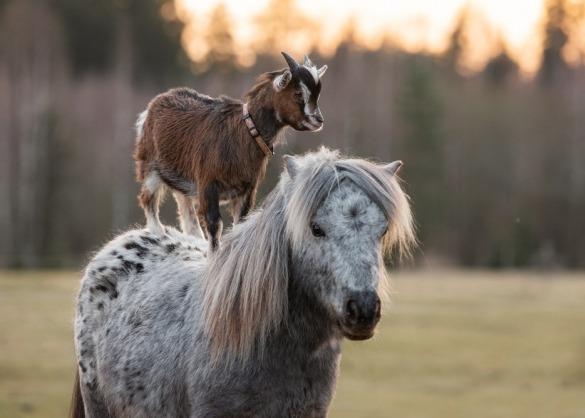 Geit staat op pony in een weide