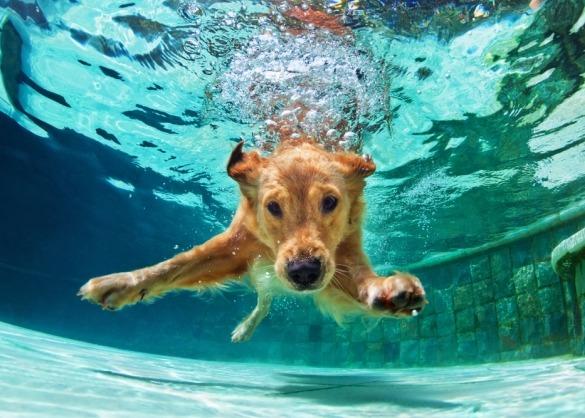 Golden retriever onder water