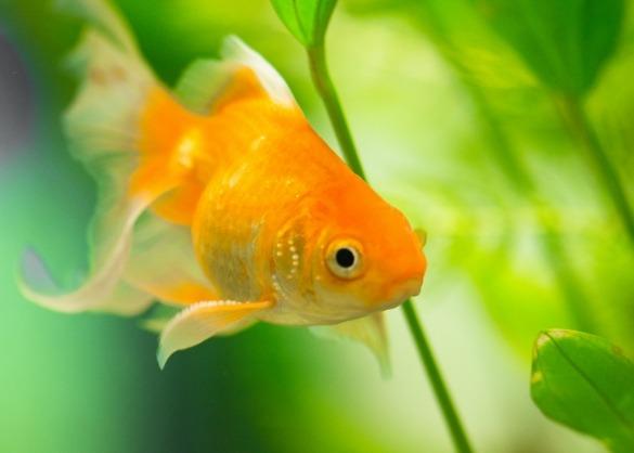 Goudvis in aquarium met groene planten