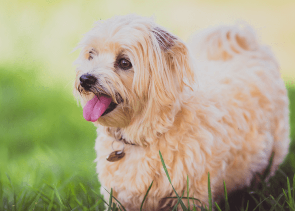 Kortharige hond