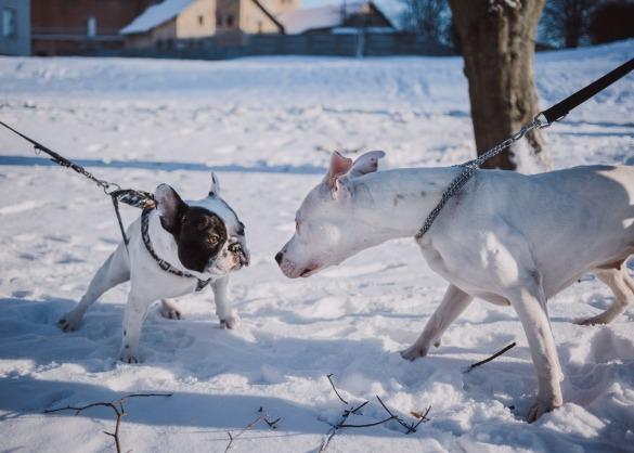 Wat zijn de grootste en kleinste honden ter wereld?