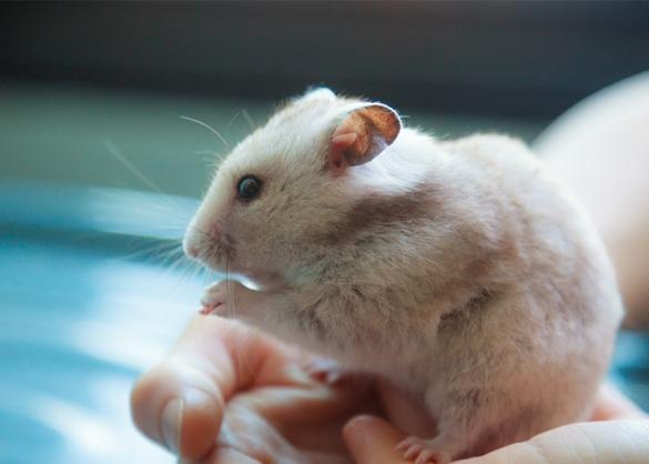 Hamster vast houden.