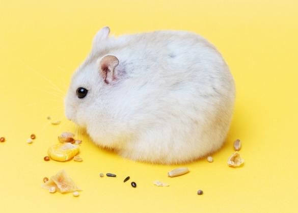 hamster op gele achtergrond