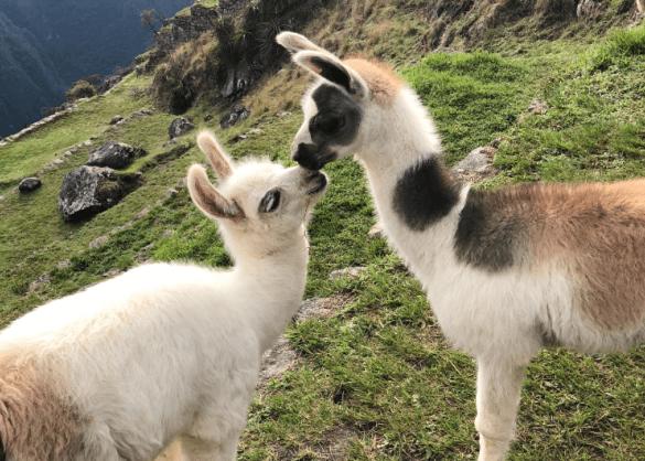 blije alpacas