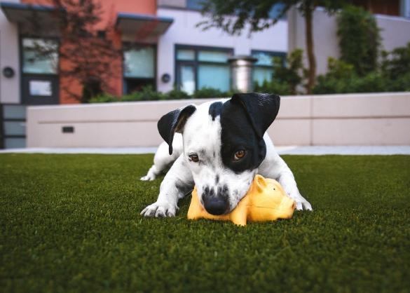 Wit-zwarte hond kauwt op speelgoed
