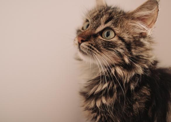 Bruine tabby kitten