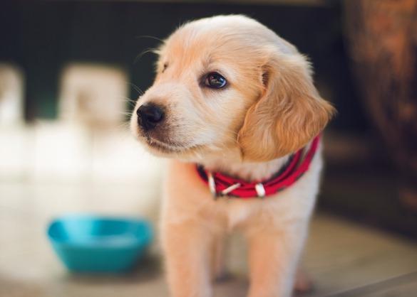 Jonge puppy met rode halsband