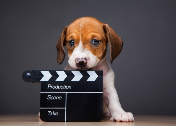 Beagle puppy met film clapper