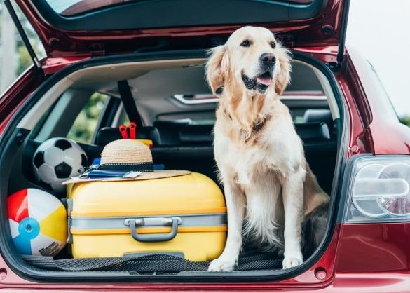 Golden retriever zit in goed gevulde (open) kofferbak naast koffers, klaar om op reis te vertrekken