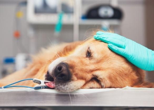 Hond ligt klaar op operatietafel