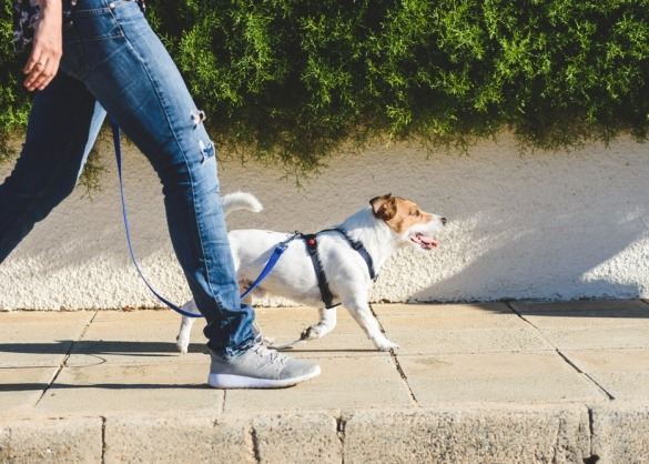 Jack Russel hond met tuigje wandelt aan leiband