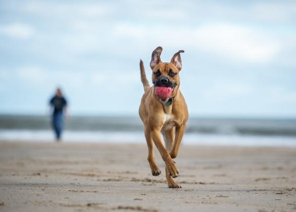Hond loopt met bal over het strand, eigenaar loopt verderop