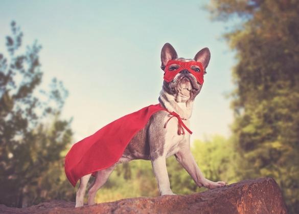 Franse bulldog met superheldenkostuum