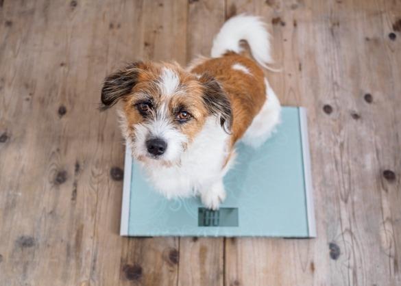 Hond op digitale personenweegschaal