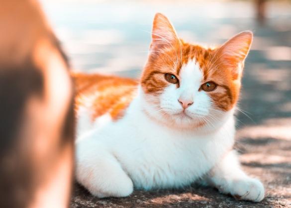Witte kat met oranje vlekken ligt op de grond