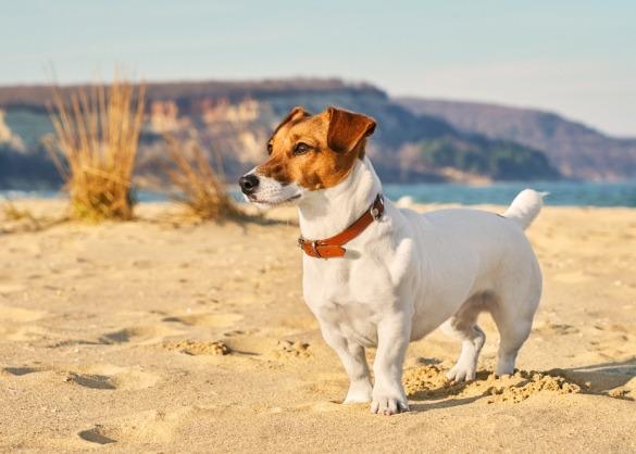 Jack russell op het strand