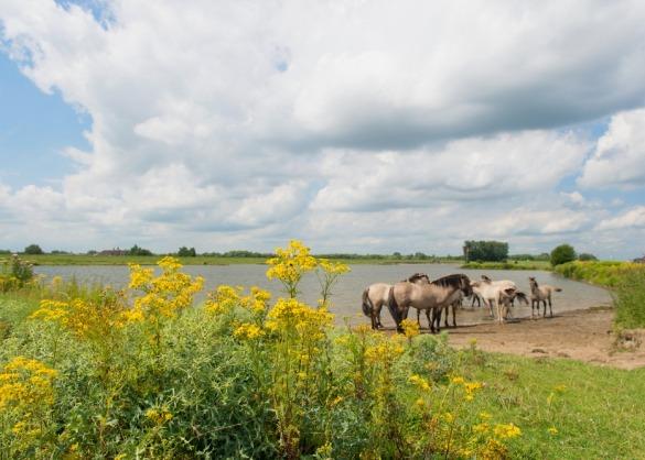 Paarden in natuurgebied met waterpartij en veel jacobskruiskruid