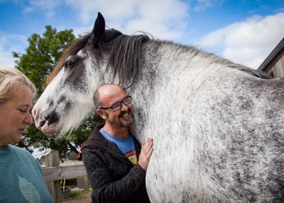 Jersey het Shire paard wordt geknuffeld door mensen