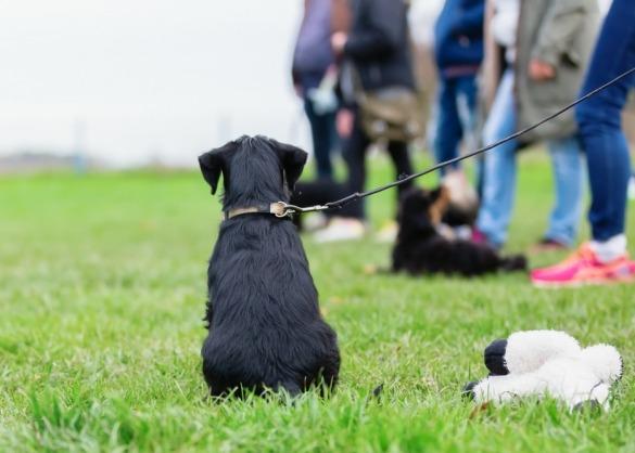Jonge labrador op de hondenschool