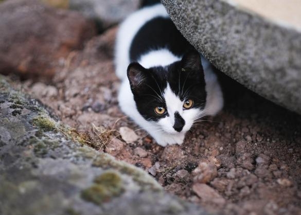 Kan een kat pijn uiten?