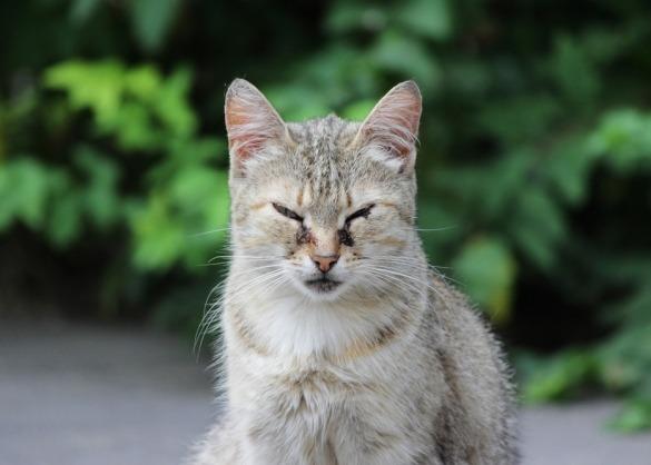 Volwassen kat met ontstoken ogen