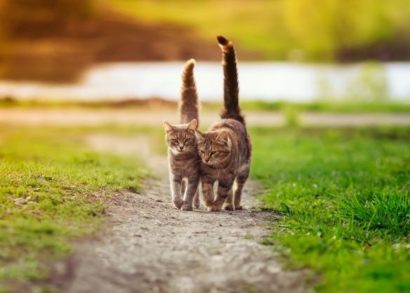 Twee katten wandelen met opgeheven staart