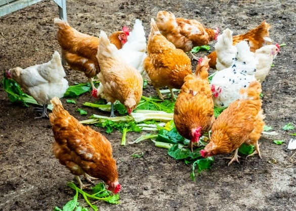 Kippen eten groenafval uit de keuken