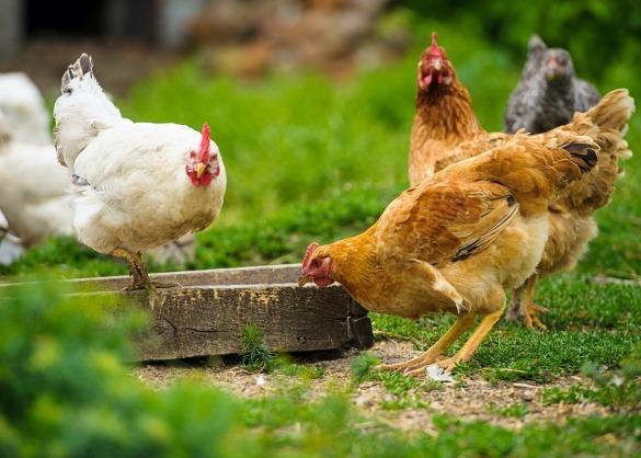 Kip eet voer uit bak