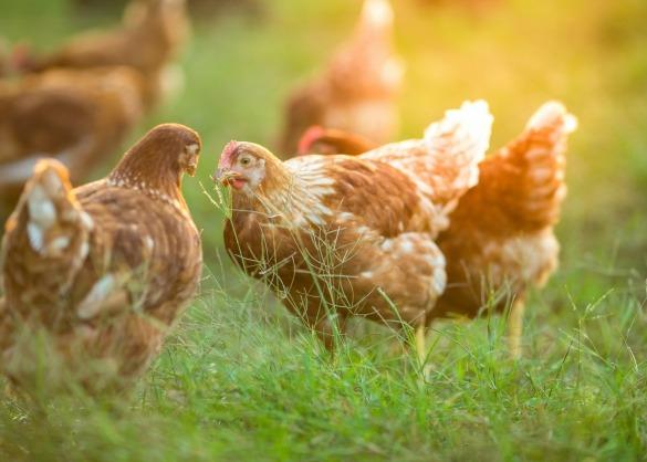 Bruine kippen in weide bij ondergaande zon