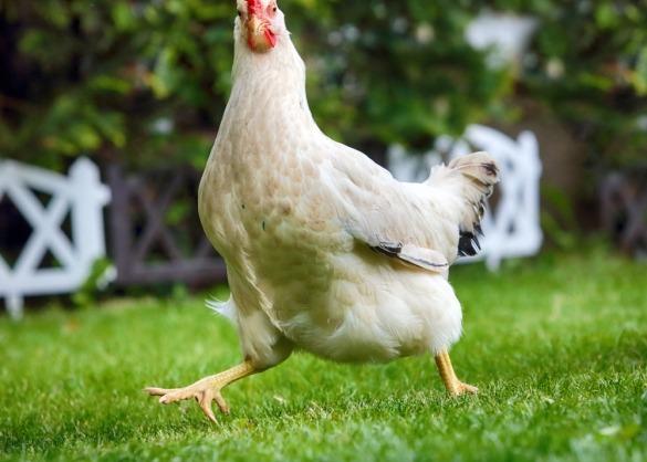 Gekke lopende kip