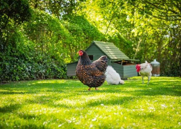 Kip in grote, groene, schaduwrijke ren met kippenhok