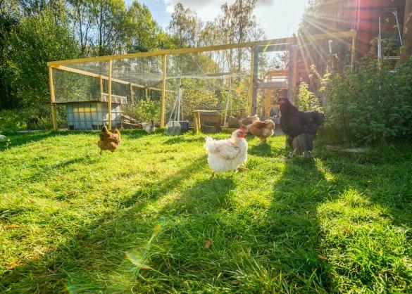 Kippen lopen vrij rond in gras