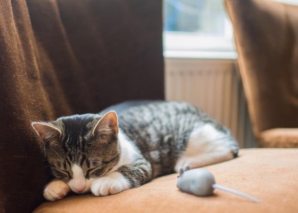 kunnen_katten_dromen