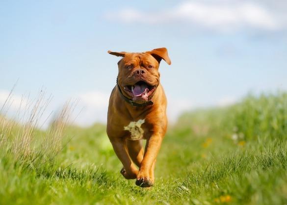 Lopende Bordeaux dog